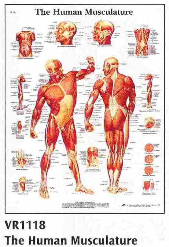 Anatomske karte - plakati 84 x 118 cm. Image